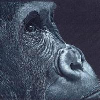 Gorilla - White and grey Prismacolor pencils on black paper