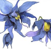 Clematis, watercolour