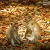 Macaques on the forest floor of Ujung Kulon