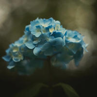 Hydrangea - an impressionist photograph taken on a whim in a public gardens in Bournemouth.