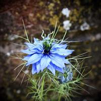 'Nigella' - Photographic print of a Nigella flower in front of a wall
