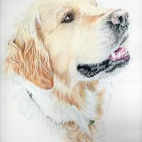 Golden Retriever - Commission - Prismacolor pencils on Bristol Board