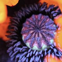 'Orange Glow' - the centre of a poppy, photographic print