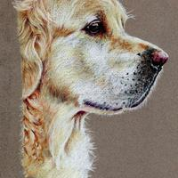 Golden Retriever - Prismacolor pencils on coloured paper