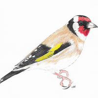 Goldfinch - pencil crayon and pen drawing