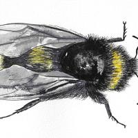 A5 ink and watercolour drawing of 'Bumble'