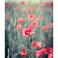 Pastel poppy - limited edition giclee print