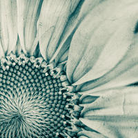 Sunflower - 10x8 inch print in a 14x11 inch white mount