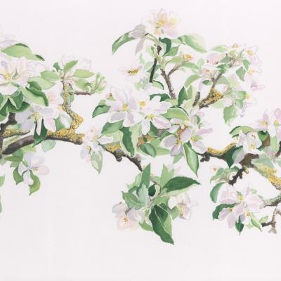 Charlecote Espalier Apple - original watercolour 760mm x 410mm framed.  £390  Currently on display at Cloisters Physiotherapy, Leamington Spa.