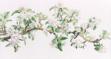 Espalier Apple -watercolour